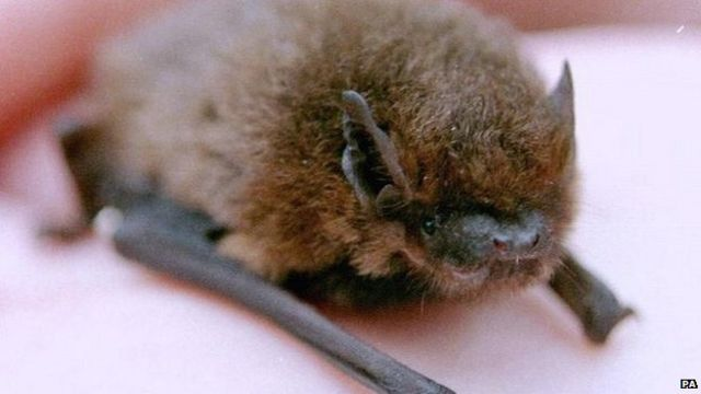 British bats 'showing signs of recovery'