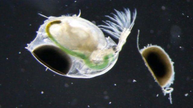 Water fleas seen through a microscope