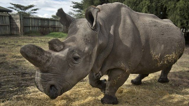 In this photo taken Monday, Dec. 1, 2014, female northern white rhino Najin walks in her pen where she is being kept for observation at the Ol Pejeta Conservancy in Kenya