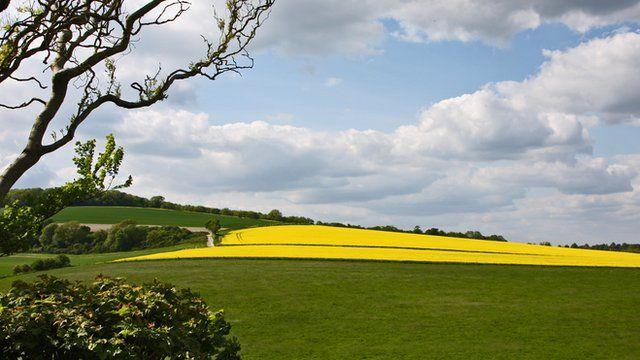 Field of oilseed rape in West Sussex