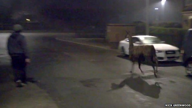 A pedestrian in Littleborough watching an escaped llama running past parked cars