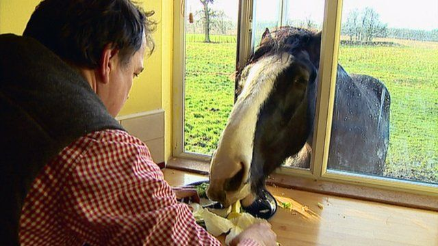 Shire horse eating