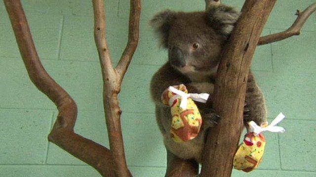 Koala wearing mittens