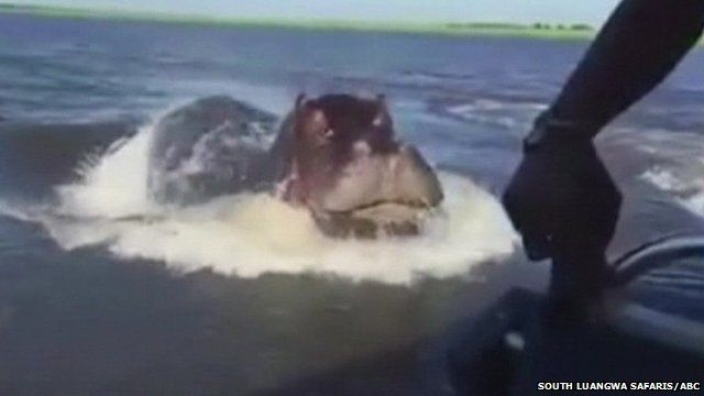 Close up still of hippo launching itself out of water towards boat