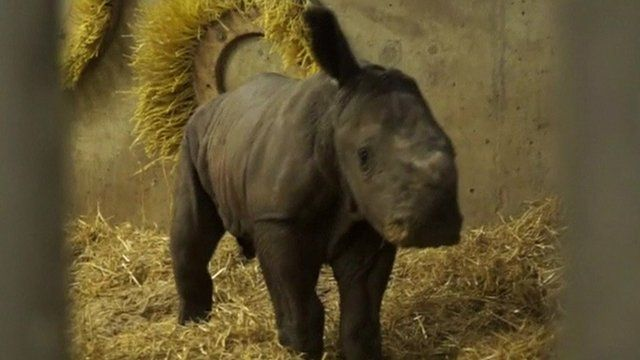 Baby Rhino takes its first steps