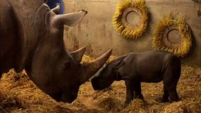 Mother and new born rhinoceros in Copenhagen Zoo