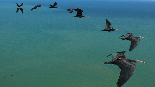 Northern bald ibises flying in formation (c) Markus Unsöld