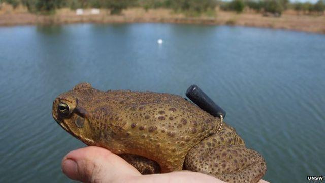 Australian study says fences could halt cane toad menace