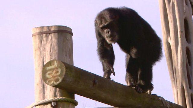 Chimpanzee in Edinburgh Zoo