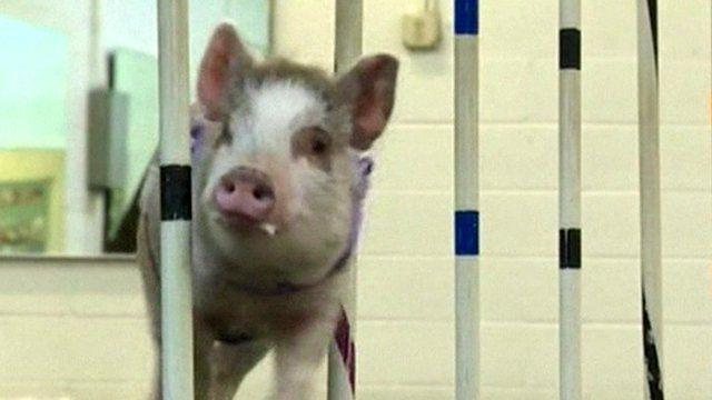 Amy the pig at a dog agility class