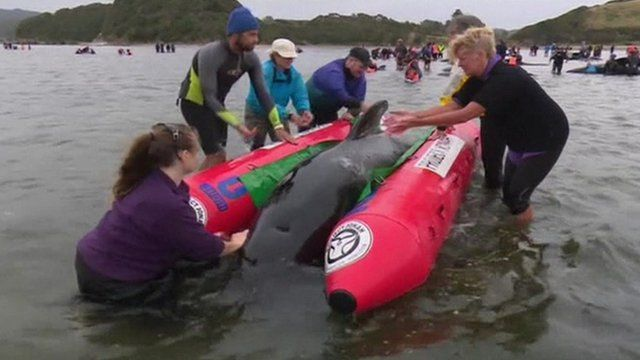 Volunteers rescue a whale