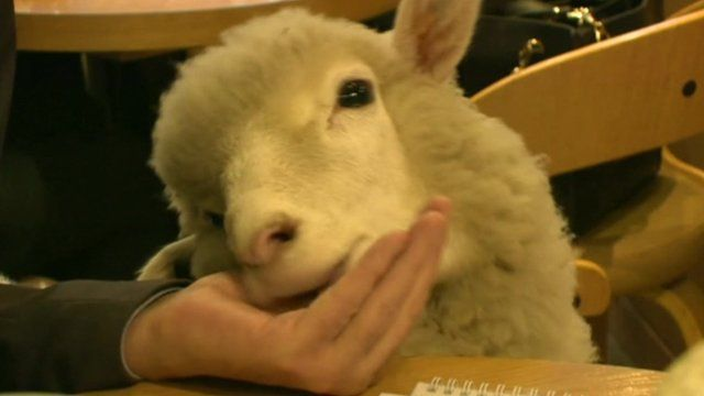 A sheep eating from a hand