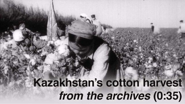 Woman harvesting cotton