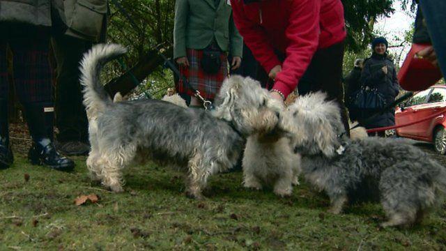 Dandie Dinmont terriers