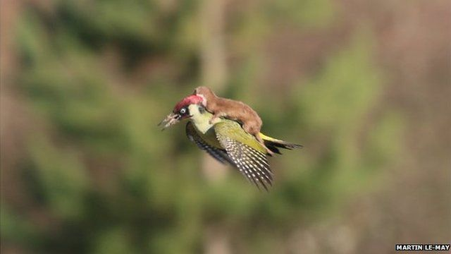 Woodpecker flying with weasel on back, Hornchurch Essex