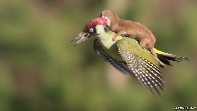 Weasel on bird