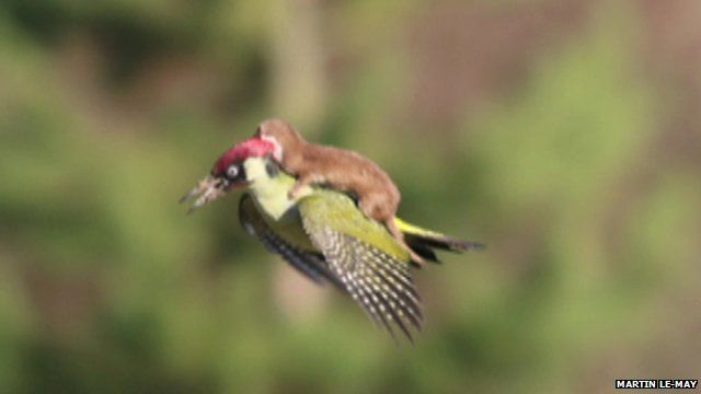 Mid-air photograph with a weasel riding on the back of a woodpecker