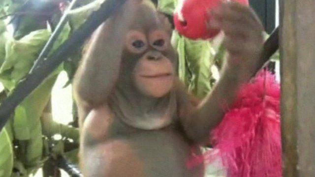 Budi, baby orangutan