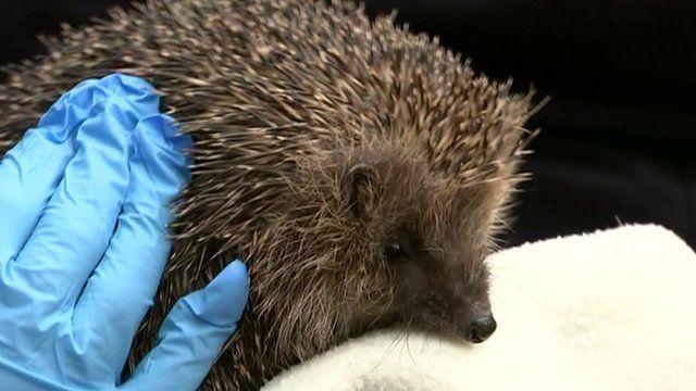 A hedgehog that met Nick Clegg