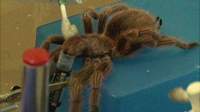 Sedated spider