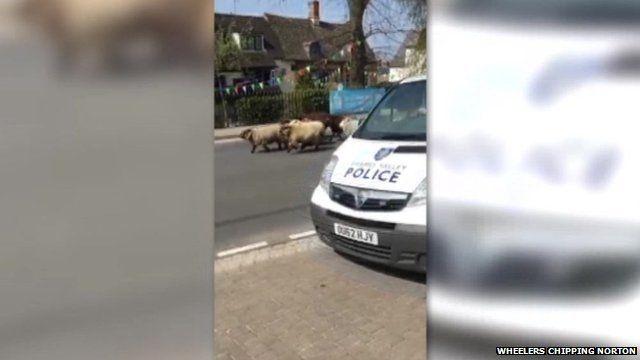Police chasing sheep