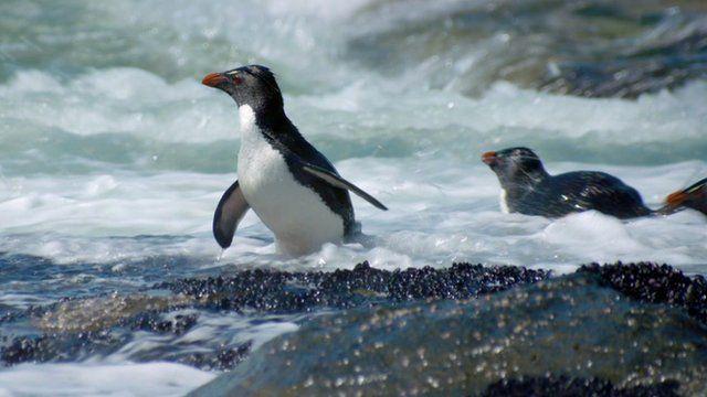Penguins in surf
