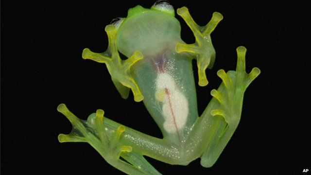 View of newly-discovered glass-frog species, Hyalinobatrachium dianae, pictured from underneath showing internal organs