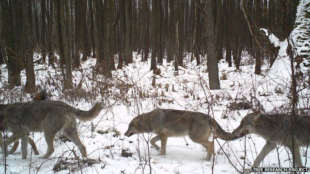 Pack of wolves (Image courtesy of the Tree research project)