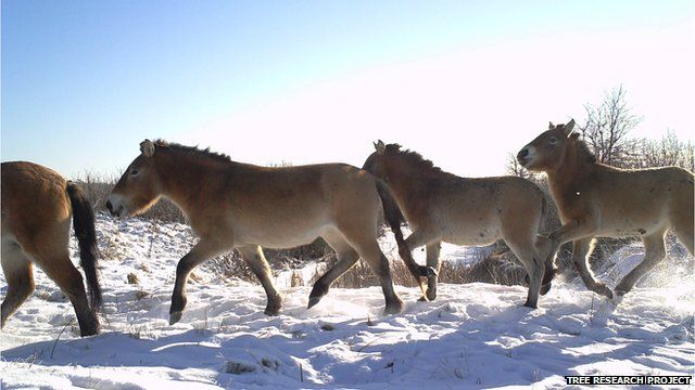 Przewalski's horses (Image courtesy of the Tree research project)