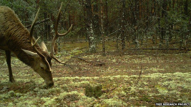Red deer (Image courtesy of the Tree research project)