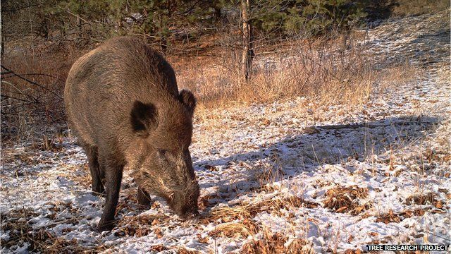 Wild boar (Image courtesy of the Tree research project)