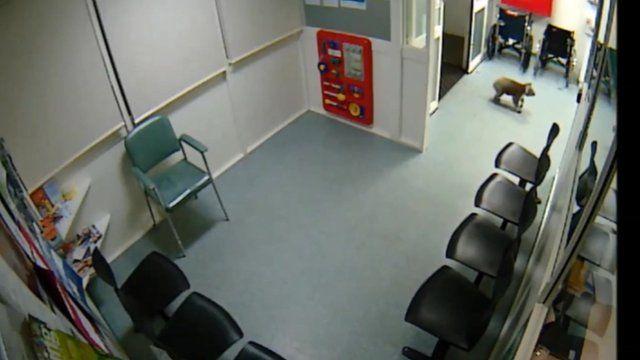 Koala enters the Emergency Department of Hamilton Base Hospital