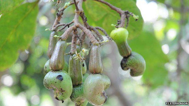 Cashew nuts, Brazil (Image: PJ Stephenson)