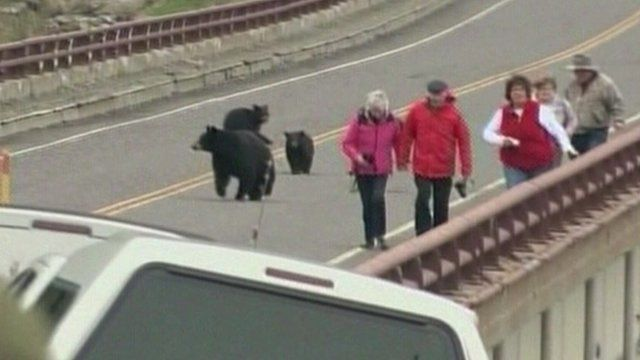 Black bears chase tourists