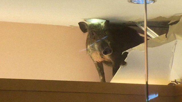 Boar in a shop