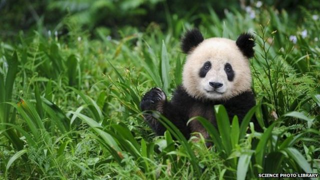 Panda meat: Chinese hunters held over scandal