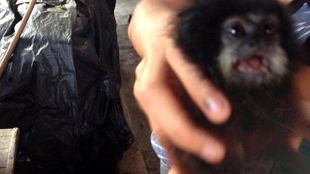 Tamarin Saddleback Monkey