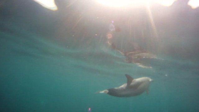Common Dolphin in sea