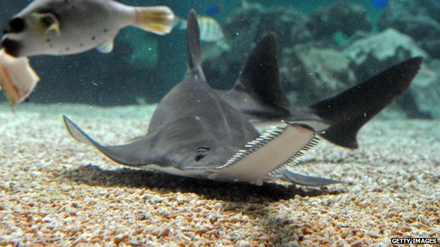 'Virgin-born' sawfish are a first in the wild