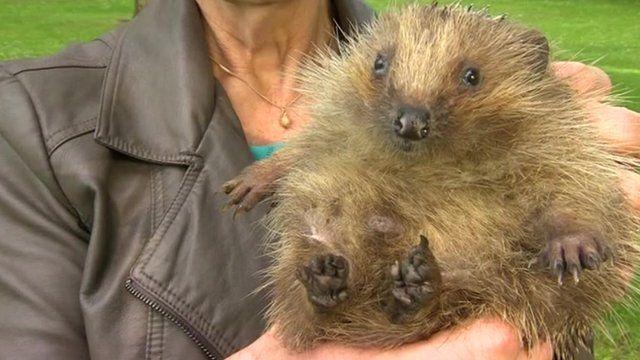 Alfie the hedgehog in arms of his carer Sue Kidger