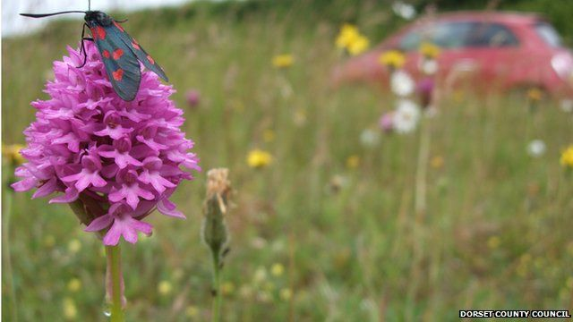 Pyramidal orchid on the roadside