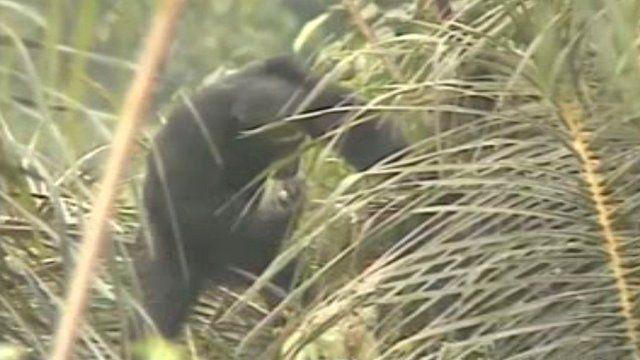 Chimp drinking palm wine