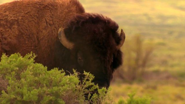 Bison roam the American Prairie Reserve