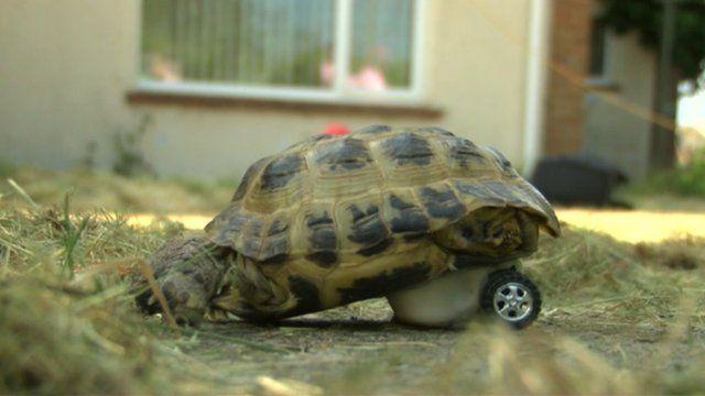 Touche the tortoise