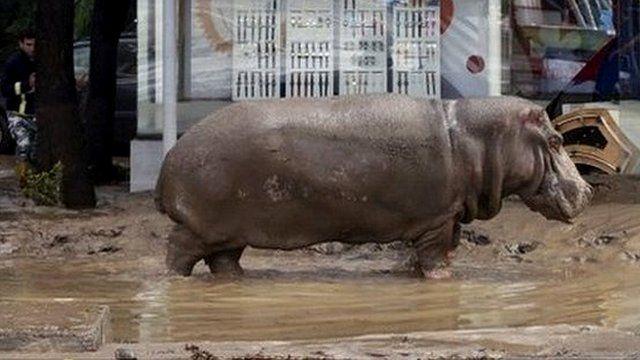 Hippopotamus in Tbilisi