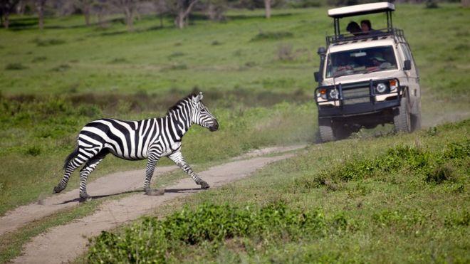 Зебра переходит дорогу