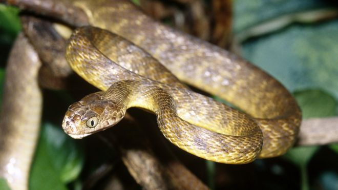Invasive snakes threaten forests on Pacific island of Guam - BBC News