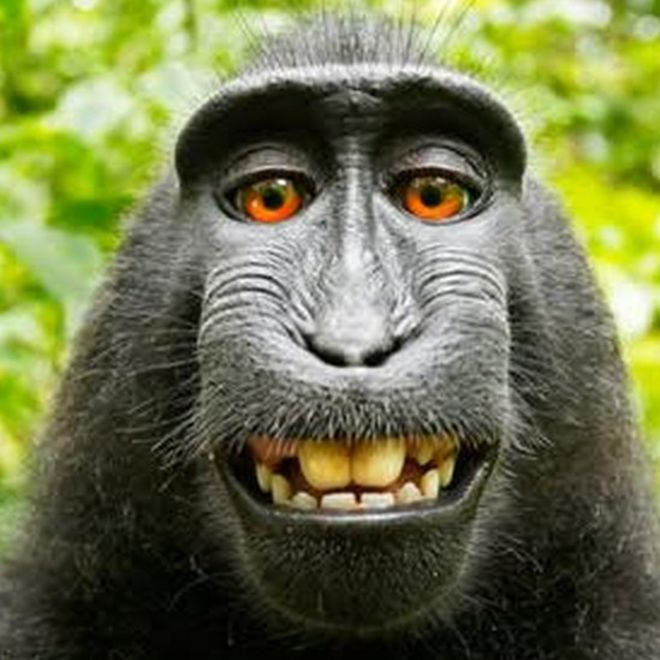 Monkey selfie is mine uk photographer argues bbc news selfie taken by macaque money in indonesia in 2011 voltagebd Choice Image