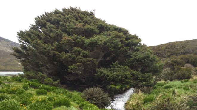 El abeto Sitka en la isla Campbell de Nueva Zelanda. (Foto: Pavla Fenwick)