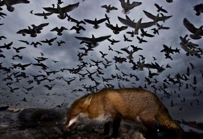 طيور النورس تحلق فوق ثعلب